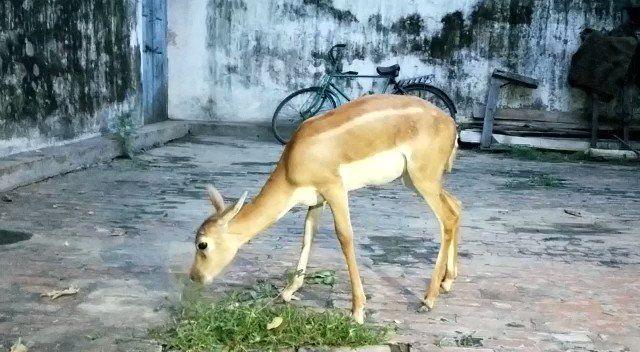चंदौली: भटका हिरण पहुंचा गाँव, हिरण को देखने के लिए उमड़ी भीड़