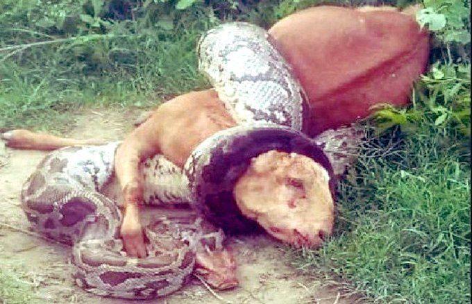 यूपी : अचानक बकरी को जिंदा निगल गया अजगर, और फिर...