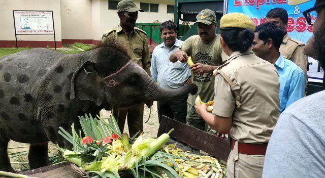 दुधवा टाइगर रिजर्व में 25 हाथियों ने दावत का जमकर उठाया लुफ्त
