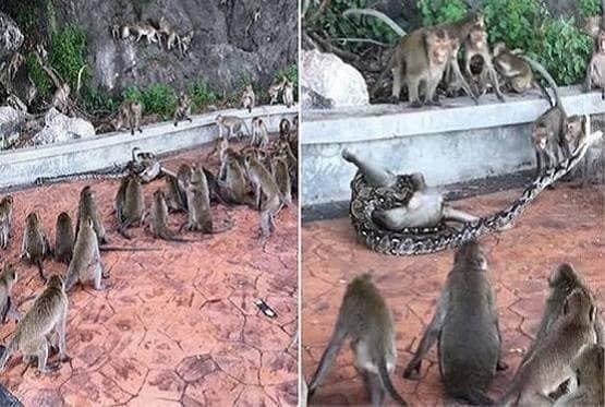 OMG...चीखते रहे बंदर और चबाता रहा अजगर, देखते-देखते ले ली जान, वीडियो वायरल