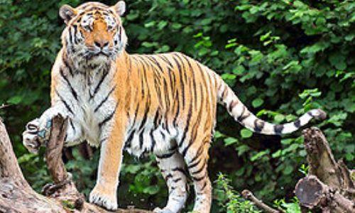 बाघ के दोनों पैरों के नीचे से ऐसे बचकर आया ये शख्स, वीडियो हो रहा है वायरल