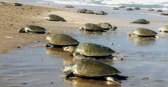 लॉकडाउन: ऐसा क्या हुआ कि ओडिशा के समुद्र तट पर अंडे देने आए 8 लाख कछुए