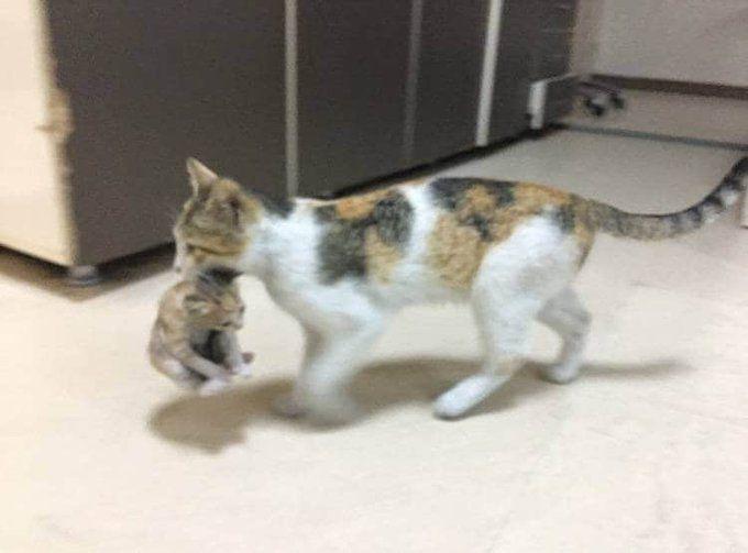 माँ तो आखिर माँ होती है, अपने बीमार बच्चे को जबड़े में पकड़ अस्पताल पहुंची बिल्ली, डॉक्टर हैरान