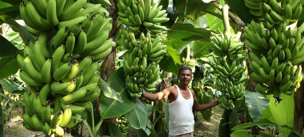 केले की खेती बाराबंकी किसानों के लिए बनी बरदान, आप भी कर सकते है केले की खेती